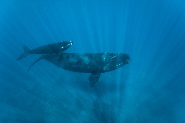 baleine franche reunion