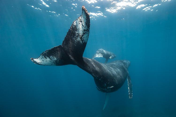baleine 1 humpbackwhales