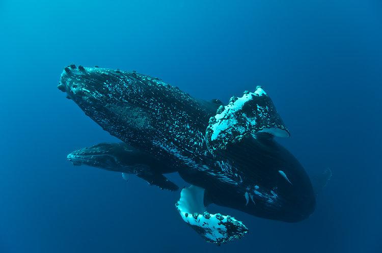 baleine ile de la reunion