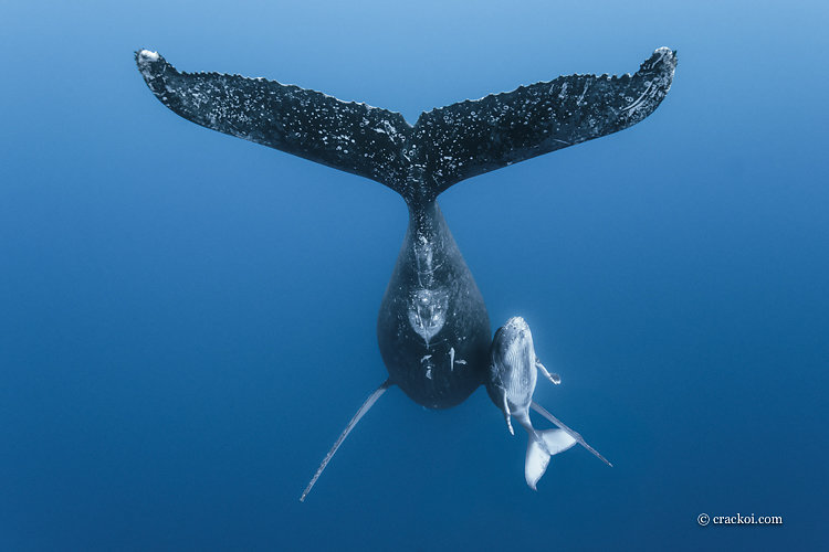 baleines et dauphins / Whales and dolphins